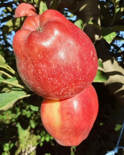 Măr STARKINSON (-46%)